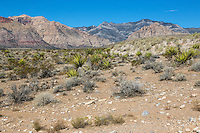 Red Rock Canyon, Nevada.  Mojave Yucca in middle, Keystone Thrust Gray Limestone in background.