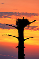 An Osprey sitting on its nest in a cypress tree at sunset on Currituck sound.