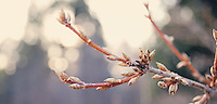 Forsythia buds in the spring.