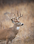 A trophy class whitetail buck in western Montana