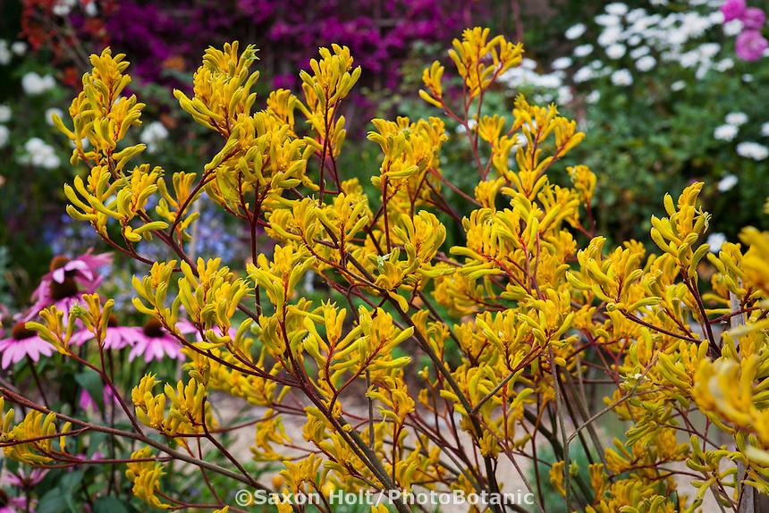 Yellow flower perennial, Kangaroo Paw - Anigozanthos 'Harmony' in drought tolerant California garden