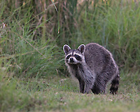 Texas Raccoon, late evening. Here the raccoon's eyes are fixed on a single blade of grass, swaying in the breeze..<br />