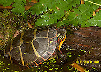 1R13-9016  Painted Turtle - Chrysemys picta, © Brian Kuhn/Dwight Kuhn Photography