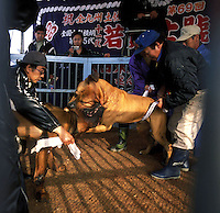 Japan Dog Fighting