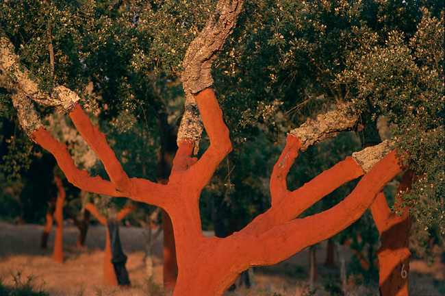 Cork tree after harvesting in Portugal
