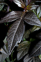 Dahlia Mystic Haze (aka 'Dark Side of the Sun') dark foliage leaves closeup detail