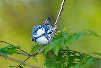 591730012 a wild male cerulean warbler songbird setophaga cerulea - was dendroica cerulea - perches in thick brush on south padre island cameron county texas