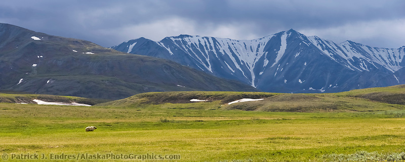Panorama of grizzly bear walking across the tundra, Denali National Park, Alaska
