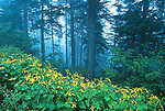 Coreopsis, Great Smoky Mountains National Park