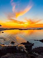 Three turtles climb on the reef to rest at sunset, Puako, Big Island.