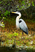 Great blue heron in breeding plumage photographed on Merritt Island near the Kennedy Space Center in Central Florida.