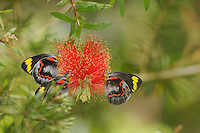 Common Jezebel Butterfly (Delias eucharis), Queensland, Australia