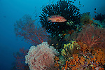 Coral trout (Plectropomus leopardus) in the reef. Misool, Raja Ampat, West Papua, Indonesia,  January 2010