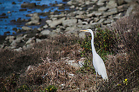 A Great egret stands with elegance, its head raised and neck extended, gazing intently while standing in the grass and rocks along the shoreline.