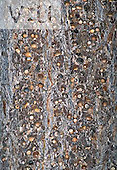 Acorns stored for winter food in tree trunk by an Acorn Woodpecker (Melanerpes formicivorus), Arizona, USA.