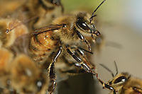 Suspended from the hive, the bees hang from one another to better allow air flow generated by the fanners to circulate throughout the comb when temperatures are too warm.