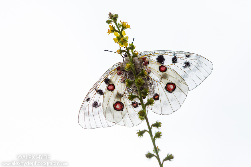 Apollo butterfly (Parnassius apollo) photographed against white cloudy sky. Nordtirol, Austrian Alps, Austria, July.