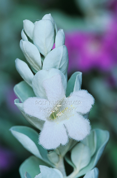 Texas Sage, Leucophyllum frutescens, blooming white morph, Lake Corpus Christi, Texas, USA, April 2003