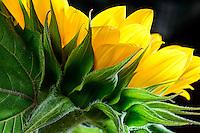 Sunflower close view.