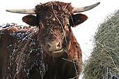 Long horned Saler beef cow eating hay outside in winter