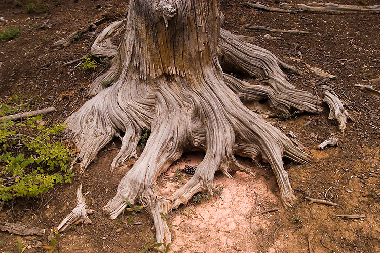 Root of Bristlecone pine tree in Dixie National Forest, Utah, UT, Bristlecone Pine Trail, Bristlecone pine tree roots, ancient, arid, Southwest America, American Southwest, US, United States, Image ut395-18617, Photo copyright: Lee Foster, www.fostertravel.com, lee@fostertravel.com, 510-549-2202