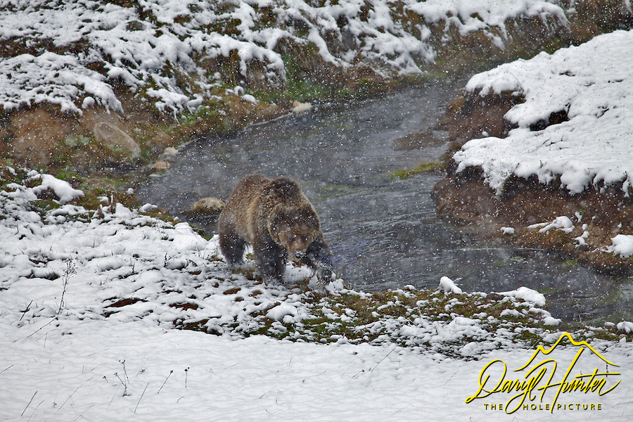 Yellowstone Grizzly Bear searches for food along Obsidian Creek in Yellowstone National Park during spring Snowstorm.