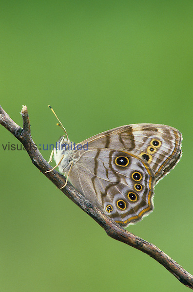 Northern Pearly Eye Butterfly (Enodia anthedon), Family Nymphalidae, Michigan, USA.