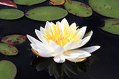 White water lilly on natural pond