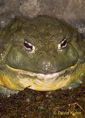 "1216-07ww  Gigantic African Bullfrog ""Pixie frog"" - Pyxicephalus adspersus - © David Kuhn/Dwight Kuhn Photography."