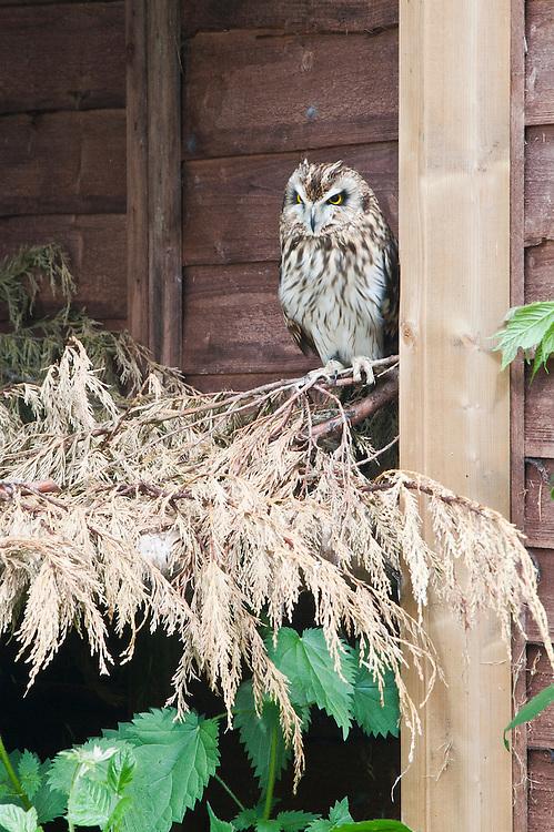 Short-eared owl (Asio flammeus), late May.