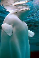 Beluga Whale (Delphinapterus leucas) at Vancouver Aquarium, Stanley Park, Vancouver, BC, British Columbia, Canada