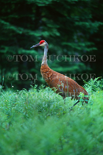 Sandhill Crane, Grus canadensis, located in the Upper Peninsula of Michigan