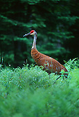 Sandhill Crane, Grus canadensis, located in the Upper Peninsula of Michigan