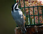 Red-breasted nuthatch (sitta Canadensis) eating from the grease feeder