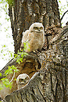 One great horned owlet perches above its sibling sitting in their nest in the heart-shaped hollow of a cottonwood tree in Grand Teton National Park, Wyoming.