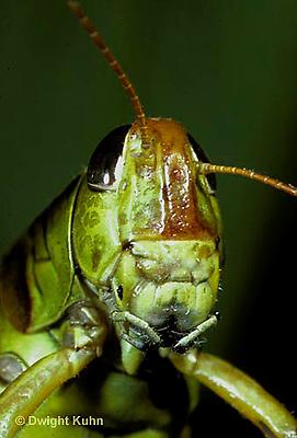 """OR03-020b  Grasshopper - face, short horned or """"true"""" grasshopper, two-striped grasshopper - Melanoplus bioittatus"""