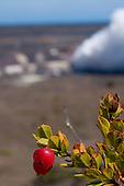 'Ohelo berries in the foreground of Kilauea volcano's Halema'uma'u Crater and caldera, Hawai'i Volcanoes National Park, Big Island of Hawai'i.
