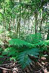Tree Fern, Katandra Reserve, NSW