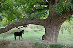 A mule stands in the shade of a large tree in Sous Valley, Morocco