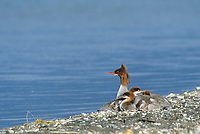 Common Merganser and chicks, Naknek Lake, Katmai National Park, Alaska