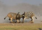 Burchell's Zebra, Etosha National Park, Namibia
