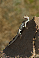 437880003 a wild long-nosed leopard lizard gambelia wislizeni perches on a large rock in redding canyon inyo county california