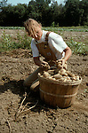 Picking organic potatoes in Vermont