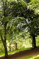 Tall beech trees mark the edges of a bright glade amongst the green leaves of the ancient Wychwood forest.