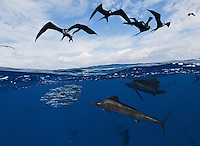 TK0380-D. Atlantic Sailfish (Istiophorus albicans) feeding on Spanish sardines (Sardinella aurita), split view over under image with frigate birds (Fregata sp.) hovering above, eager to feast on the bait. Some consider this the same species as the Indo-Pacific Sailfish (I. platypterus)<br /> Gulf of Mexico, Mexico, Caribbean Sea.<br /> Photo Copyright &copy; Brandon Cole. All rights reserved worldwide.  www.brandoncole.com