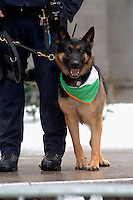 Police dog wearing' a bit of the green in front of St. Pat's. 246th Saint Patrick's Day Parade,  marches up 5th Avenue,  March 17, 2007.  (© Frances Roberts)
