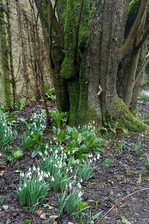 Snowdrops at the foot of a Handkerchief tree (Davidia involucrata), Heligan, Cornwall, mid February.