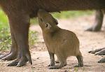 Capybara baby nurses, Venezuela