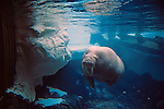 Sea World Adventure Park Wild Arctic Walrus exhibit Sea World San Diego California USA