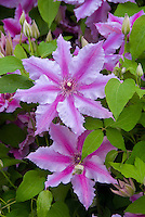 Clematis 'Fireworks' vine in flower, bicolored bluish-lavender with magenta central stripe